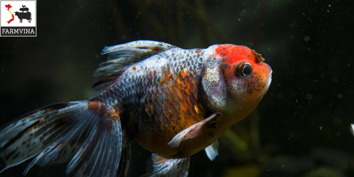giới thiệu về cá vàng