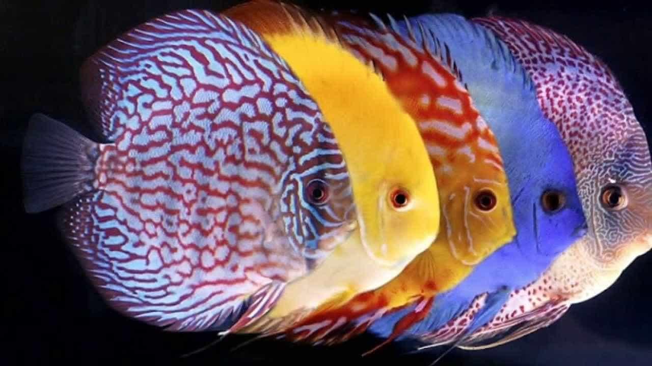 nuôi cá đĩa