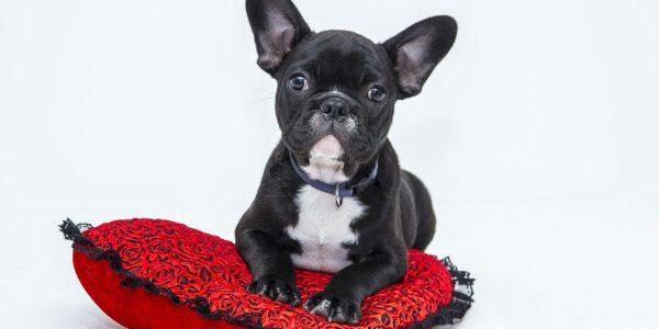 chó Bulldog Pháp