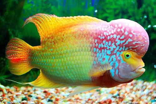 nuôi cá La Hán