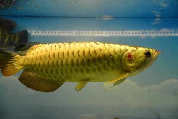 thức ăn nuôi cá rồng