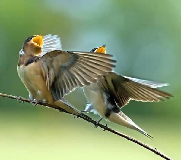 chim hót