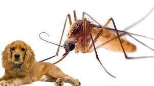 muỗi chích chó