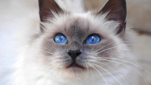 mèo Birman