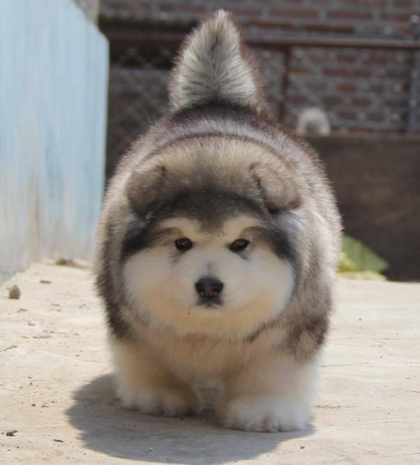 chó Alaska con