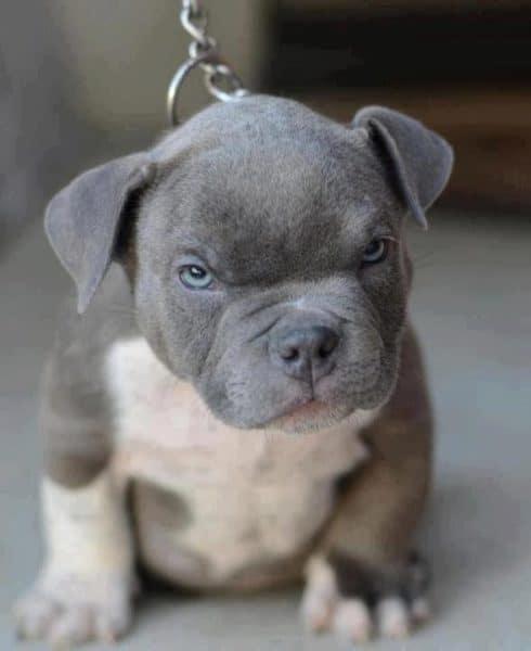 chó Pit Bull