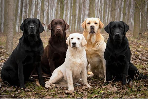 nuôi chó Labrador