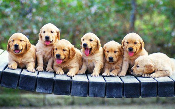 phân biệt chó Bắc Kinh và chó Nhật