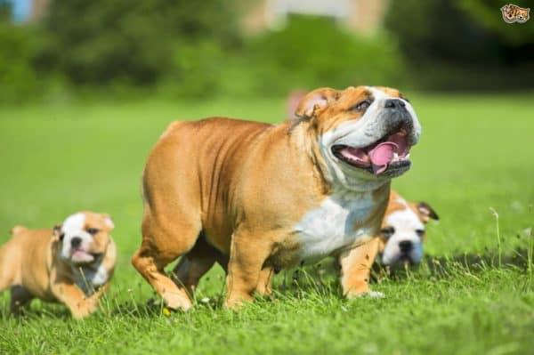 nuôi chó Bulldog