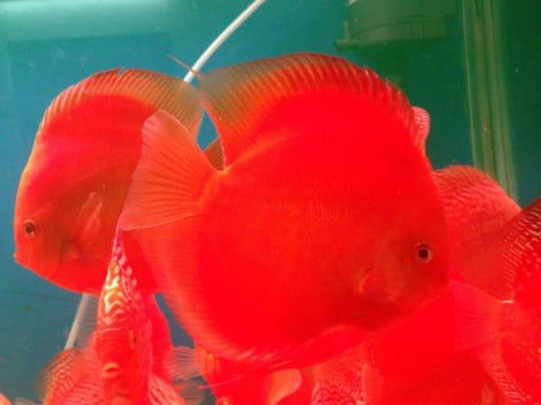 kinh nghiệm nuôi cá dĩa