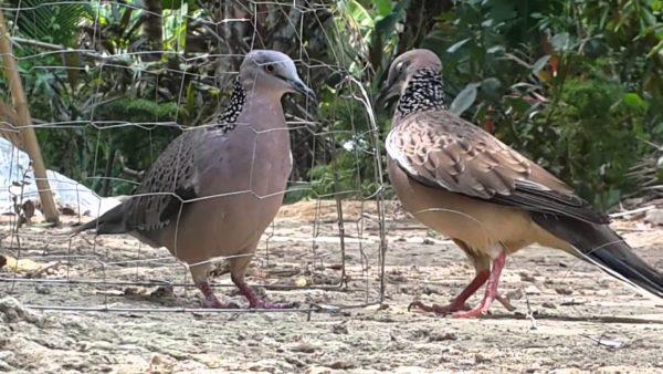 nuôi chim cu gáy bổi nhanh