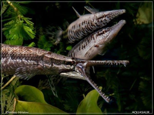 cá sấu hoả tiễn