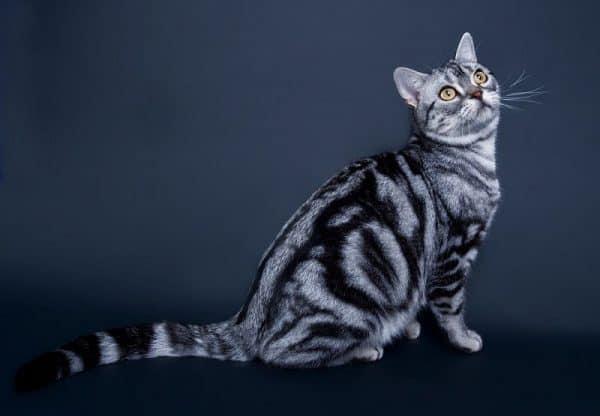 Mèo Mỹ Lông Ngắn