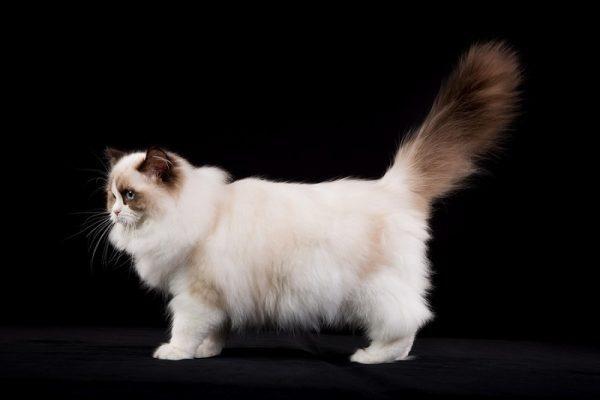 mèo Ragdoll