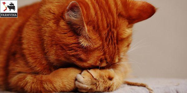 trị rận cho mèo