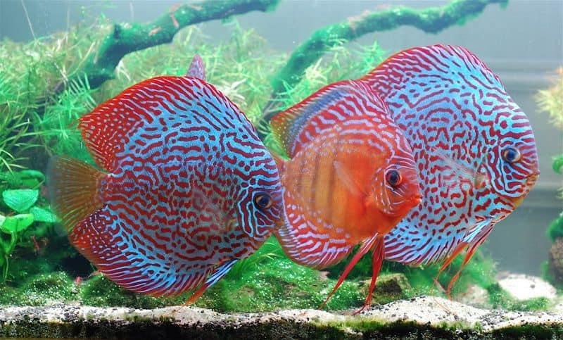 cách nuôi cá đĩa