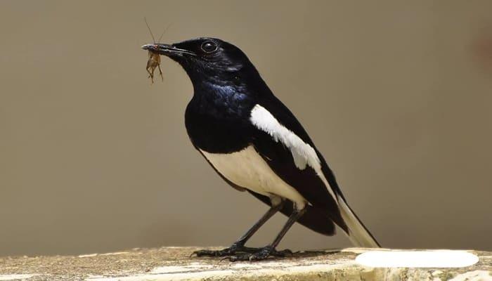 loài chim cảnh