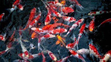 cách nuôi cá cảnh không bị chết