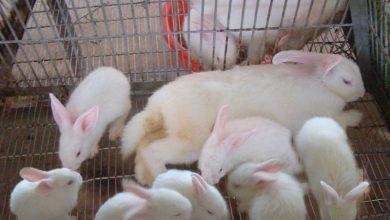 Photo of Thỏ kiểng: Giá bán và nơi mua uy tín