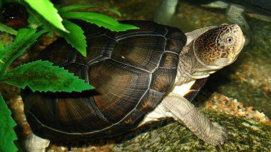 rùa nước ngọt