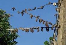keo bẫy chim