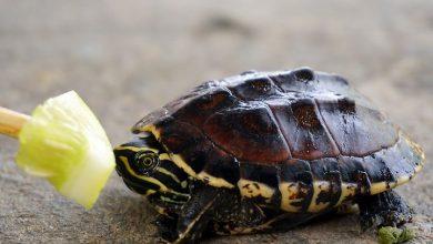 nuôi rùa nước ngọt