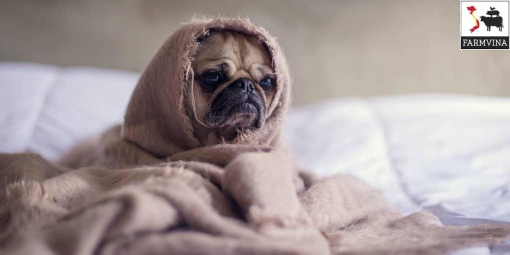 chó có bị cảm lạnh không