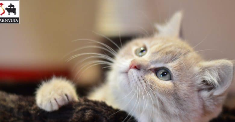 thức ăn hạt cho mèo