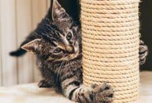mèo cào đồ