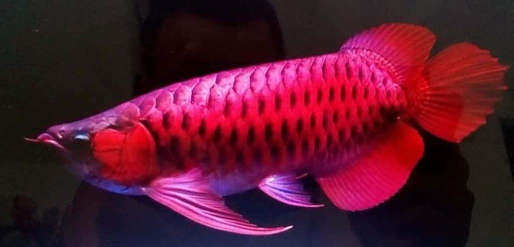 Cá Huyết Long