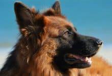Photo of Chó Becgie: Đặc điểm và cách nuôi ra sao?