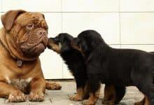 Photo of Nuôi chó Rottweiler như thế nào? Mua ở đâu?